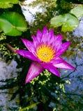De roze lotusbloem en zalig verklaart reflex in de pool stock foto's
