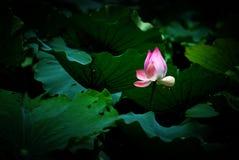 De roze lotusbloem is in het lotusbloemblad stock afbeeldingen