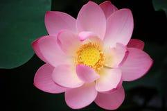 De roze lotusbloem, sluit omhoog Royalty-vrije Stock Foto's