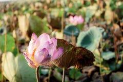 De roze lotusbloem van droogt stock foto
