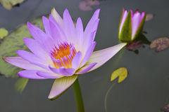 De roze lotusbloem van het paar en lotusbloemverlof Royalty-vrije Stock Afbeelding