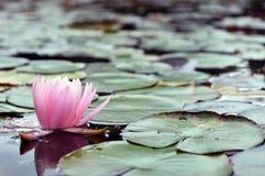 De roze lotusbloembloem op de rivier royalty-vrije stock afbeeldingen