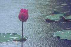 de roze lotusbloembloem porde door water in vijver bij openbaar park in regenachtige dag Stock Afbeelding