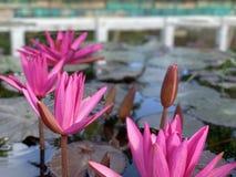 De roze lotusbloembloemen worden gebruikt om monniken aan te bieden Of gebruikt om in een vaas te verfraaien royalty-vrije stock afbeelding