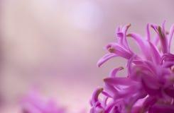 De roze macro van de hyacintbloem Royalty-vrije Stock Fotografie