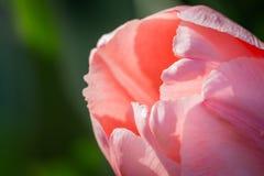 De roze Macro van de Tulp Royalty-vrije Stock Afbeelding