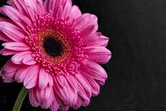 De roze macromening van de gerberabloem met waterdalingen op donkere backgrou Stock Fotografie
