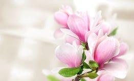 De roze magnolia bloeit achtergrondmalplaatje stock fotografie