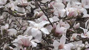 De roze magnolia's komen prachtig tot bloei stock footage