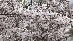 De roze magnolia's komen prachtig tot bloei stock videobeelden