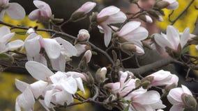 De roze magnolia's komen prachtig tot bloei stock video