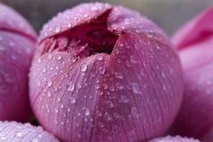 De roze Markt van de Bloem van Lotus Blossoum Gesloten Hongkong Stock Foto