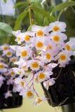 De Roze ` orchideeën van Dendrobiumfarmeri ` royalty-vrije stock afbeeldingen