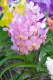De roze Orchideeën van Vanda van Thailand Royalty-vrije Stock Fotografie