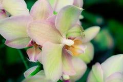 De roze Orchidee bloeit Close-up Stock Afbeeldingen