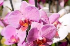 De roze orchidee van de zomer Stock Afbeeldingen