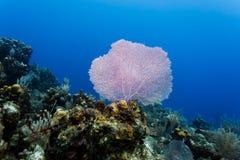 De roze overzeese ventilator benadrukt het overzees scape tijdens een scuba-uitrusting op het koraalrif in de Caraïben duikt stock afbeeldingen