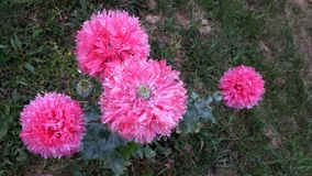 De roze Papaver van de Papaverbloem - somniferum stock foto's