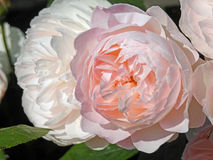 De roze pioen nam toe royalty-vrije stock fotografie