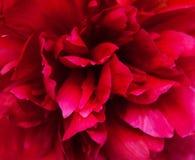 De roze pioen, sluit omhoog Royalty-vrije Stock Afbeelding