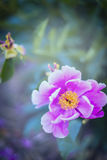 De roze pioenbloem op vage bladerenachtergrond, sluit omhoog Stock Foto's