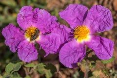 De roze Rots nam bloemen toe Stock Foto's