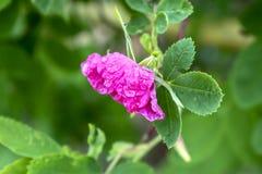 De roze rozebottelbloem met dauw daalt dicht omhoog met vage achtergrond stock foto