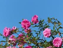 De roze rozen Stock Afbeeldingen
