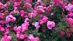 De roze rozen in het park, bloemtuin met rozen, het modelleren, struik namen, mooie rozen toe stock videobeelden