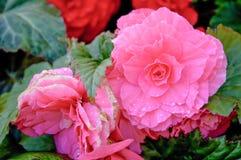De roze rozen sluiten omhoog Royalty-vrije Stock Afbeeldingen