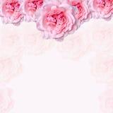 De roze rozenbloemen met de roze achtergrond van de degradeetextuur, kader, sluiten omhoog Stock Foto