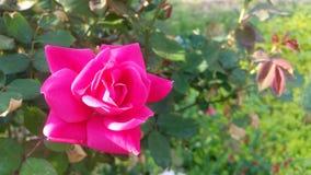 De roze Slag nam uit bloesem met rosebushgebladerte toe Stock Afbeelding