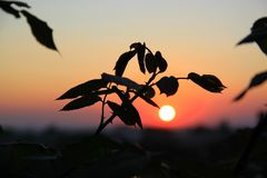 De roze struiken op de achtergrond van de zonsondergang Stock Foto's