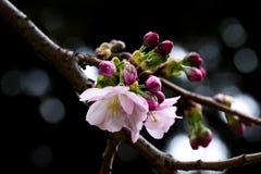De roze tak van de kersenboom met donkere achtergrond Stock Fotografie