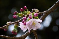 De roze tak van de kersenboom met donkere achtergrond Royalty-vrije Stock Afbeeldingen