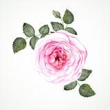 De roze thee nam toe Royalty-vrije Stock Foto's