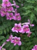 De roze Trompetwijnstok of van Havenstjohn ` s de Klimplant of van Podranea ricasoliana of Campsis radicans of de Trompetklimplan Royalty-vrije Stock Afbeeldingen