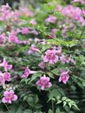 De roze Trompetwijnstok of van Havenstjohn ` s de Klimplant of van Podranea ricasoliana of Campsis radicans of de Trompetklimplan Stock Fotografie
