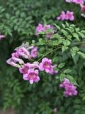 De roze Trompetwijnstok of van Havenstjohn ` s de Klimplant of van Podranea ricasoliana of Campsis radicans of de Trompetklimplan Stock Foto's