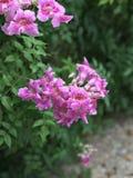 De roze Trompetwijnstok of van Havenstjohn ` s de Klimplant of van Podranea ricasoliana of Campsis radicans of de Trompetklimplan Stock Afbeeldingen