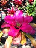 De roze tropische achtergrond van installatieneoregelia Stock Fotografie