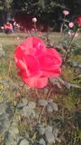 De roze Tuin royalty-vrije stock foto