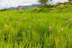 De roze tuin van de lotusbloembloem in Mon Chaem, Chiang Mai, Thailand Royalty-vrije Stock Afbeeldingen