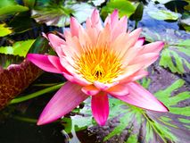 De roze vlotter van de lotusbloembloem op het bassin stock foto's