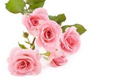 De roze Witte Achtergrond van Rozen Royalty-vrije Stock Foto's