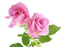 De roze Witte Achtergrond van Rozen Stock Afbeeldingen