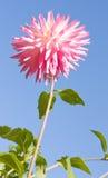 De roze Witte Bloem van de Dahlia Royalty-vrije Stock Foto's