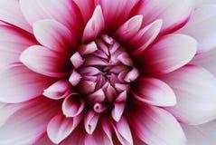 De roze Witte Bloem van de Dahlia Royalty-vrije Stock Afbeelding