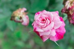 De roze Witte Volledige Bloei nam toe Stock Foto