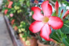 De roze Woestijn nam of de bloem van de Impalalelie toe Stock Afbeelding